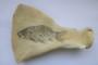 Fossile poisson : Carpe